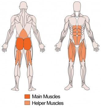 ハックスクワットのダーベット部位である大腿四頭筋やハムストリングスの解剖図