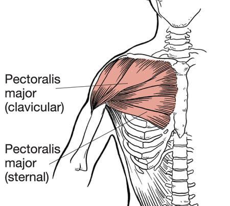 ケーブルクロスオーバーのターゲット部位である大胸筋の解剖図