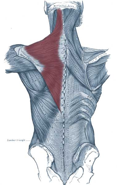 広背筋や僧帽筋などの背中の筋肉の解剖図