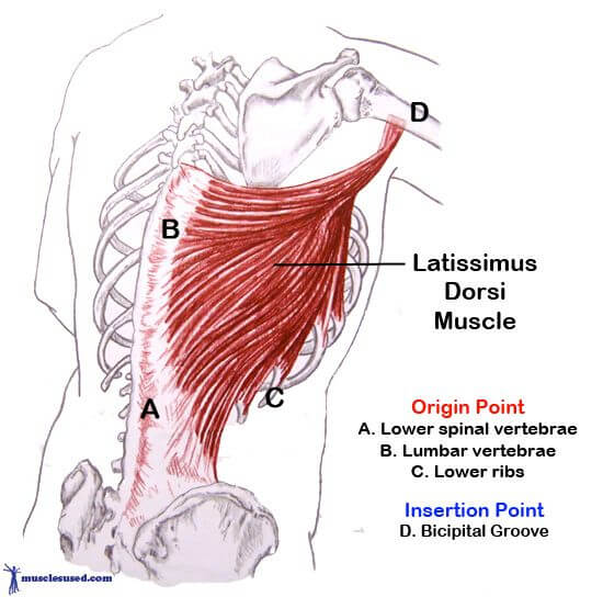 ワンハンドローイングのターゲット部位である広背筋と僧帽筋の解剖図