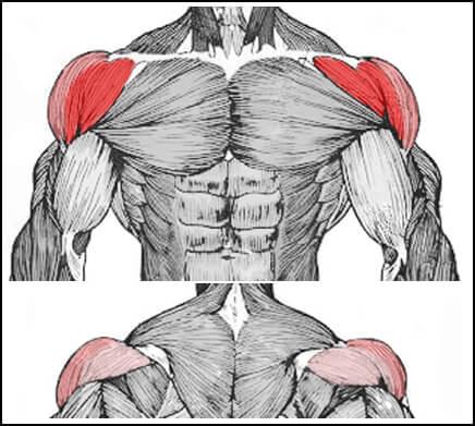 肩のフロントを鍛えるミリタリープレスのターゲット部位の解剖図