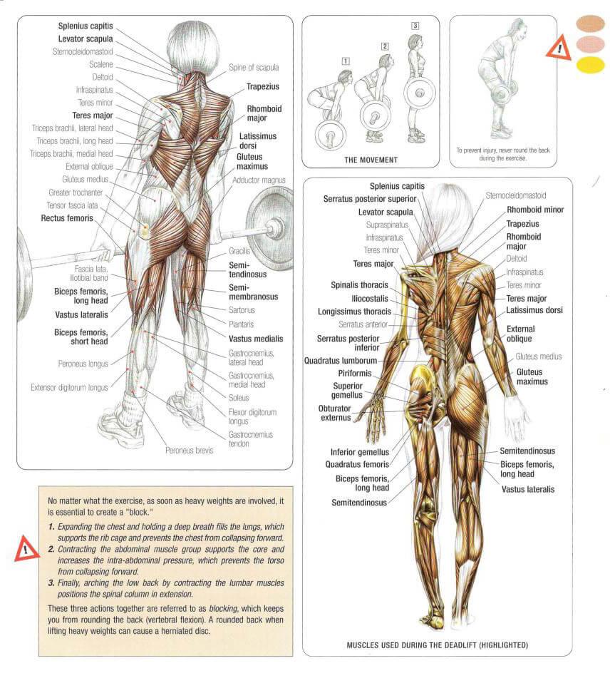 デッドリフトのメインターゲット部位である脊柱起立筋・広背筋・ハムストリングスの解剖図
