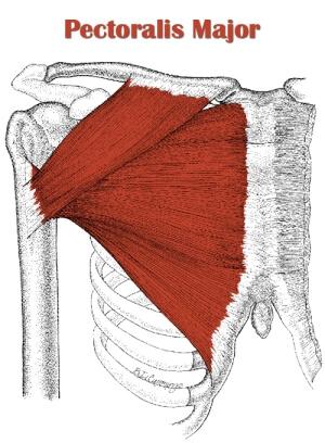 ペックフライのターゲット部位である大胸筋の解剖図
