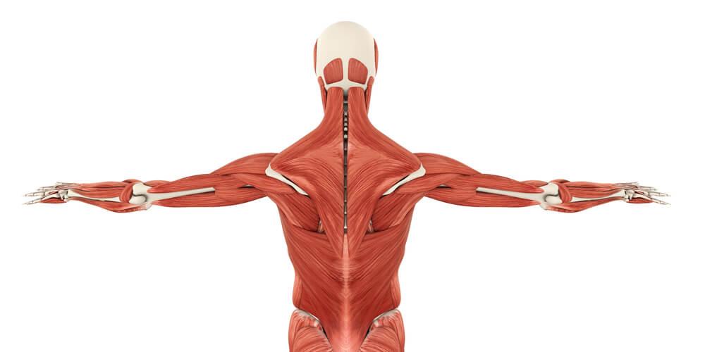 背中の筋肉の解剖図