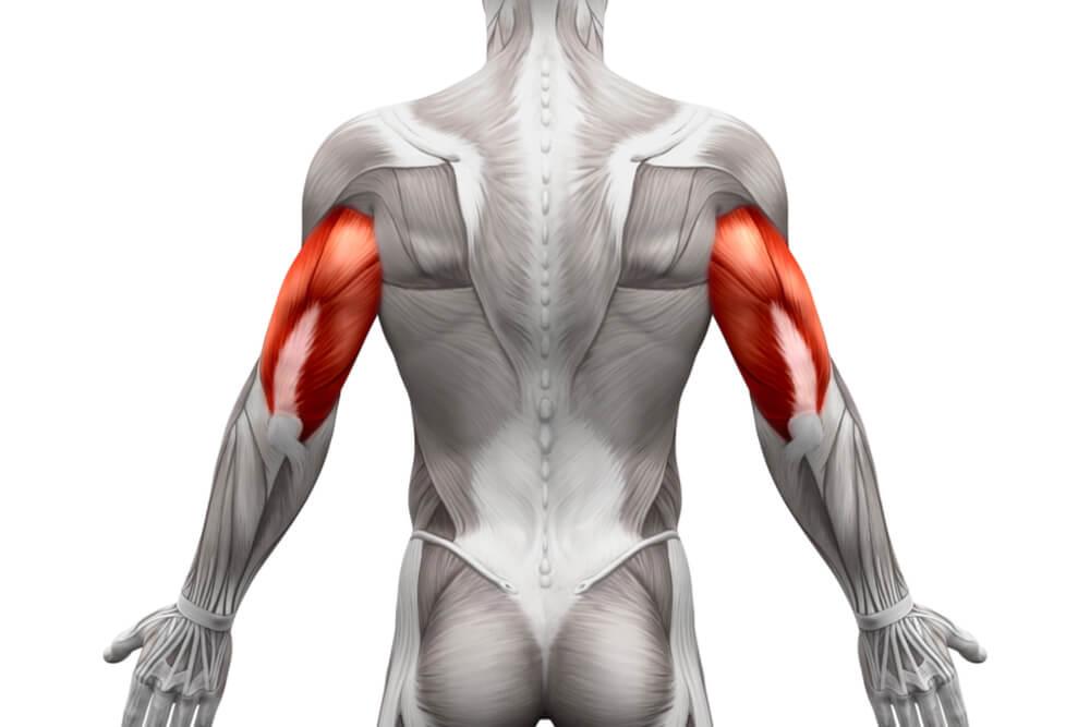 腹筋ローラーのターゲット部位である上腕三頭筋