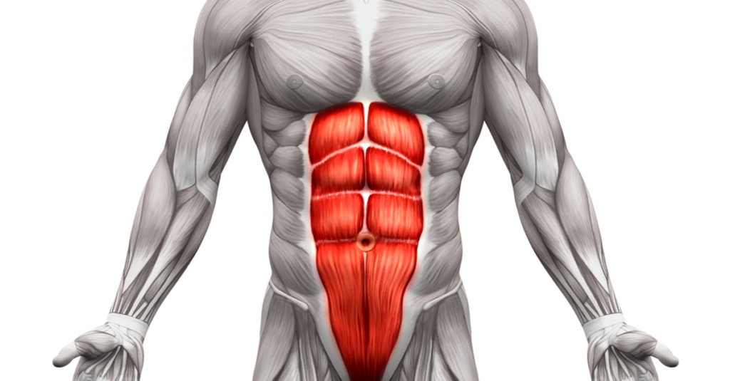 腹筋ローラーのターゲット部位である腹直筋